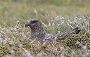 Brown Skua (Stercorarius antarcticus) nesting at Sea Lion Island, the Falklands.