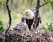 Alaska.  Adult Bald Eagle (Haliaeetus leucocephalus) feeding chick on nest in old cottonwood tree in south Anchorage at the edge of Potter Marsh in early June.