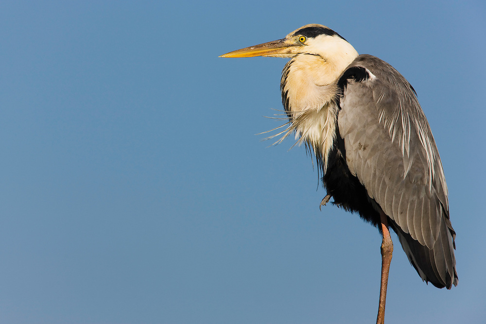 Grey heron (Ardea cinerea), close-up, Pont du Gau, Camargue, France