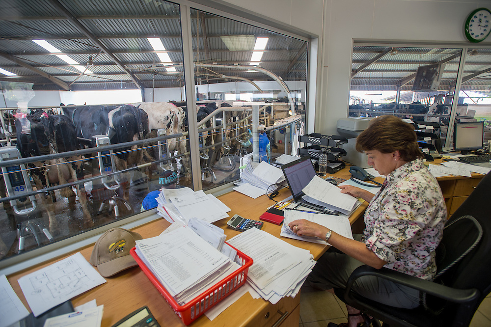 SOUTH AFRICA- Cows being milked on dairy farm.