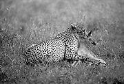 A young cheetah delivering the coup de grace to an impala fawn. Sabie Sands Game Reserve, Mpumalanga, South Africa