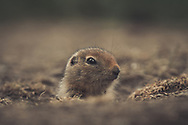 An Arctic Ground Squirrel (Uroticellus parryii) baby peeks out of it's den. Yukon Territory, Canada