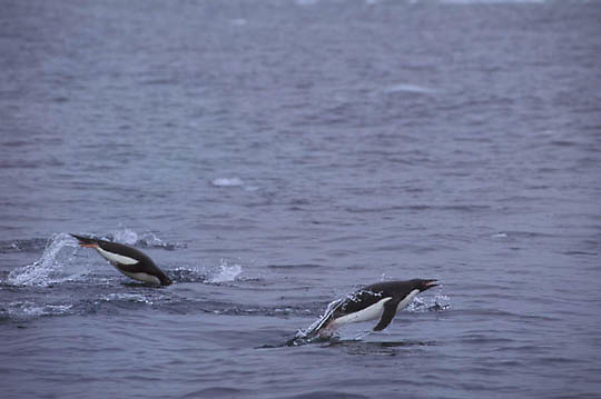 Adelie Penguin, (Pygoscelis adeliae) Porpoising in waters off Antarctica Peninsula.