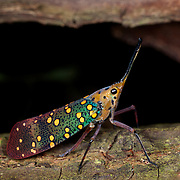 Wild Saiva gemmata (Westwood, 1848) yellow-spot blue-lanternfly or lantern bug. In Huai Kha Kaeng, Thailand.