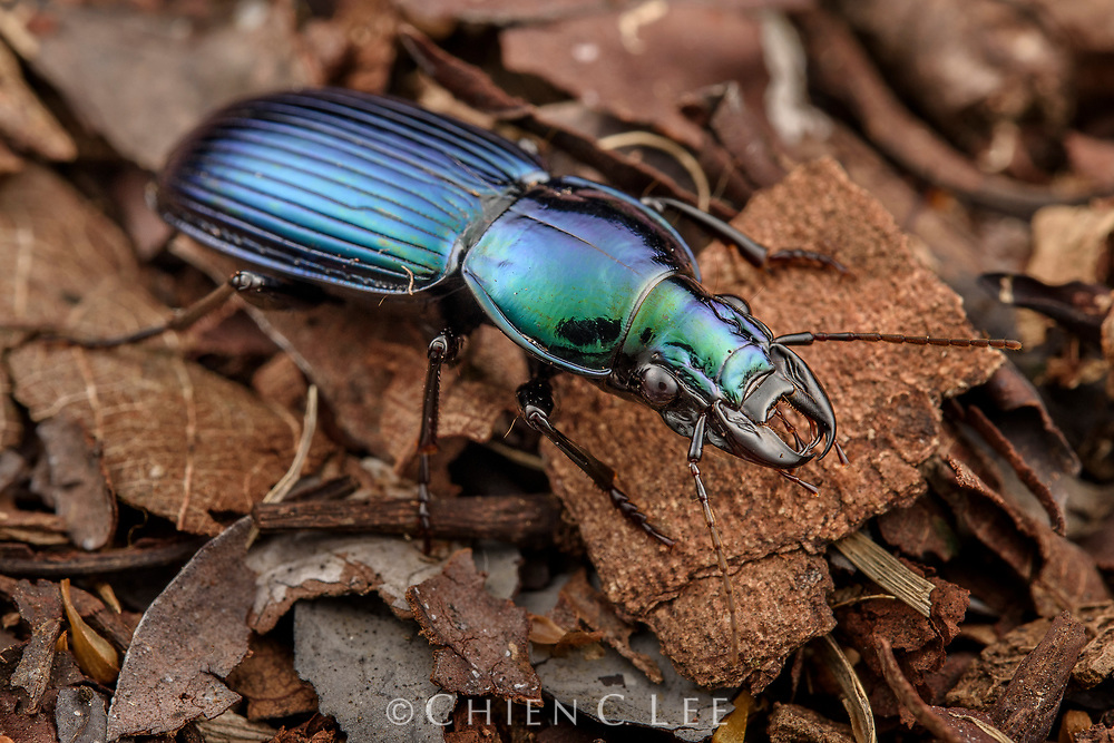 A predaceous ground beetle (Catascopus sp.). Sabah, Malaysia.
