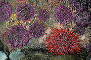 Red Sea Urchin with Purple; Sea; Urchin;<br /> Strongylocentrotus; franciscanus;<br /> Strongylocentrotus purpureus; intertidal; tidepool;<br /> WA, Olympic Coast; invertebrate;