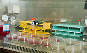 Microbiology Laboratory Cell cultures. petri dishes containing cell cultures under a biological hood