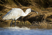 Royal Spoonbill with a fresh caught flounder fish in Invercargill Estuary, New Zealand