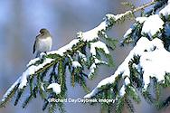 01569-00519 Dark-eyed Junco (Junco hyemalis) in winter, Marion Co.   IL