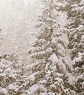 fresh snow falling on trees