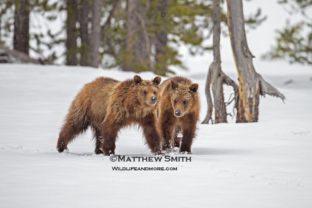 Grizzly Bear Cubs in Grand Teton National Park Wyoming