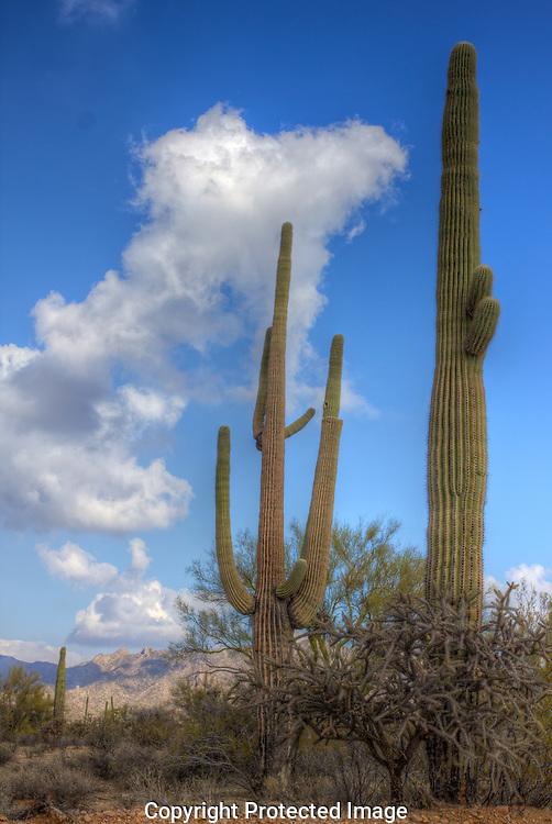 Massive Saguaro cactus stretch toward the clouds in Southeastern Arizona's Sonoran Desert