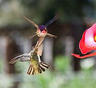 incredible photographs of Hummingbirds