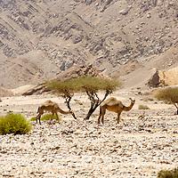Jebel Hafeet camels