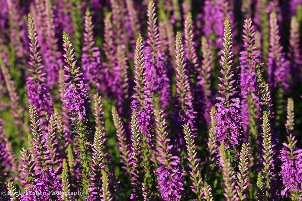 &quot;Lavender Hues&quot;<br />