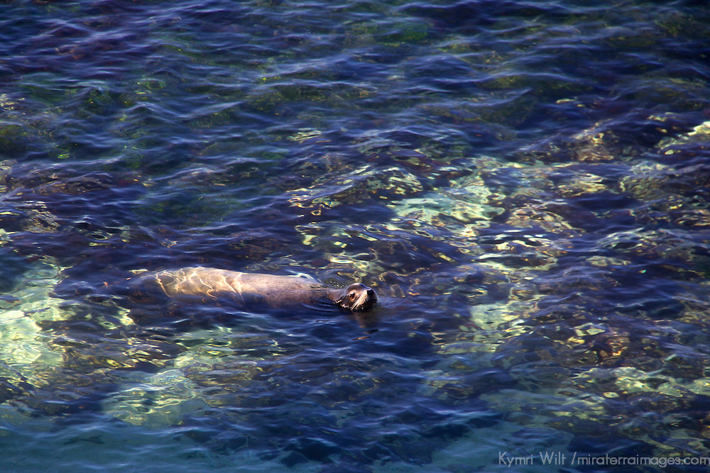 USA, California, San Diego. Sea Lion at Children's Pool, La Jolla.