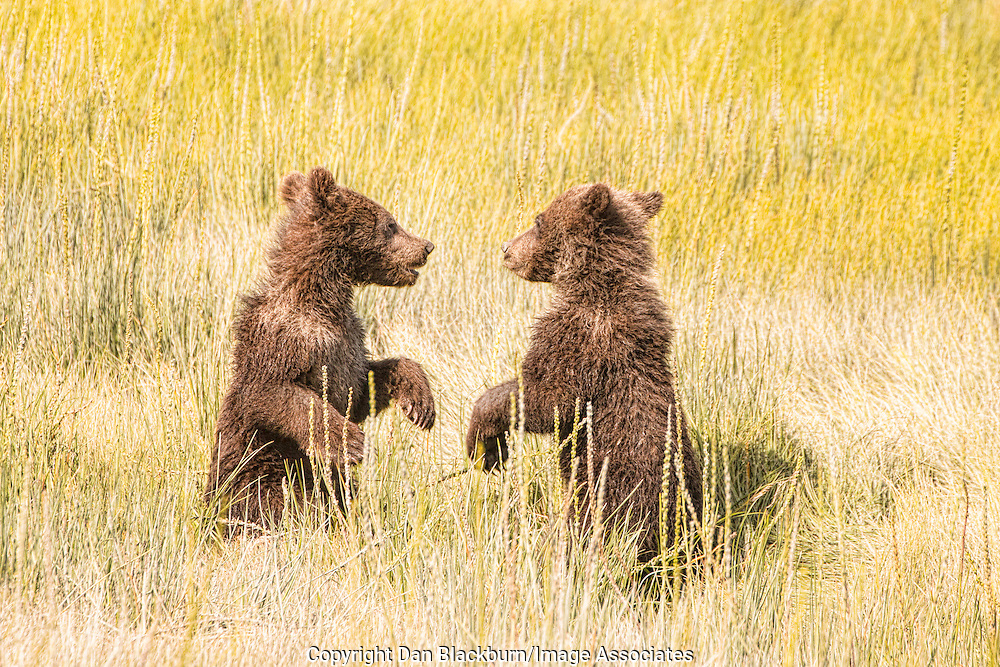 Two Small Grizzly Bear Cubs Playing Together In the Tall Grass