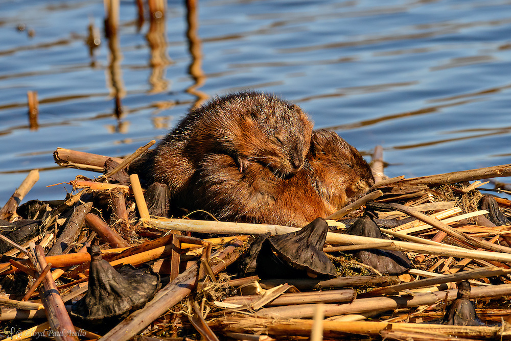"A pair of young muskrat (Ondatra zibethicus) warm themselves by resting in the sun on top of their ""push-up"" or lodge made from old cattail stalks and lotus seedpods.   The parents were foraging nearby.  The muskrat is a medium-sized semiaquatic rodent native to North American wetlands over a wide range of climates and habitats. The muskrat is the largest species in the subfamily Arvicolinae, which includes 142 other species of rodents including voles and lemmings; however, they are not true rats. An adult muskrat is about 16–28 in long, and weighs 1.3–4.4 pounds.  Almost half of its length is tail.  Muskrats can swim under water for 12 to 17 minutes at a time and breed two or three times a year with six to eight young per litter."
