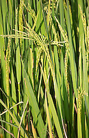 Green non-gm seed head on rice crops being grown in the Terai region of Nepal