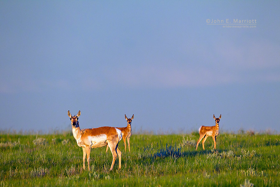 Pronghorn antelope with twin fawns