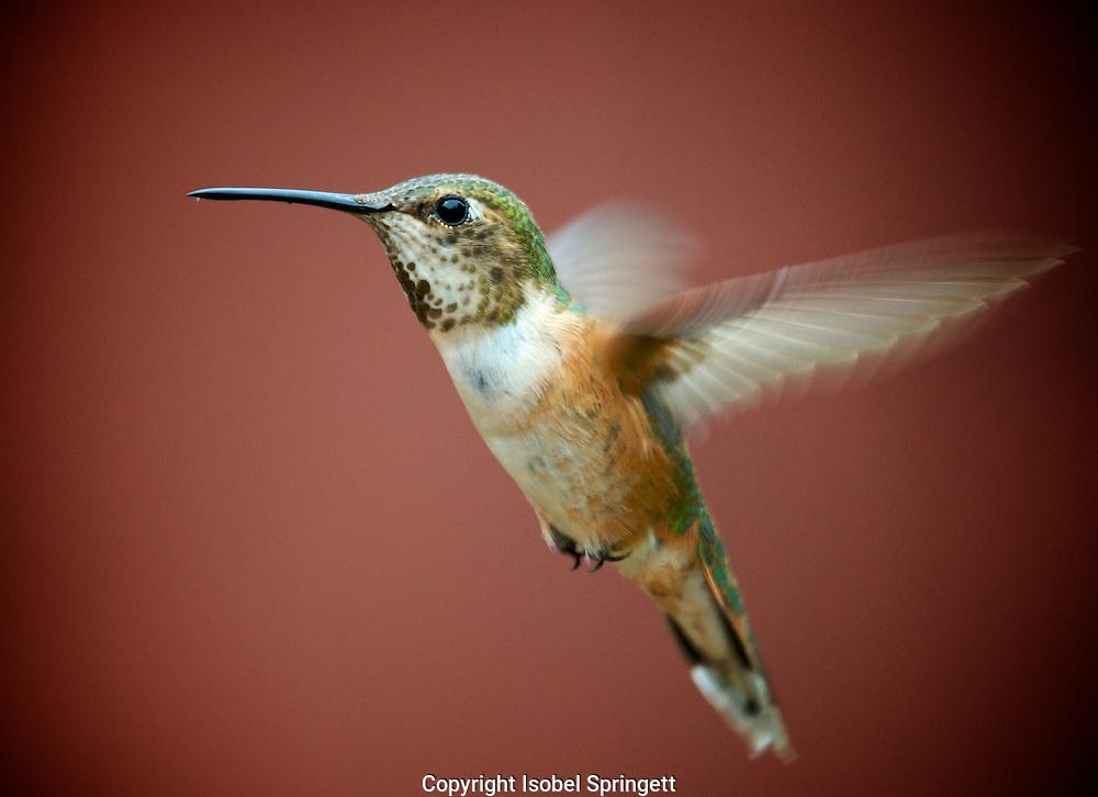 rufus humming bird.,orlabar point,gabriola island,,Canada,richard,Piercy Rd,Courtenay,,Canada, (Photo by: Isobel Springett).
