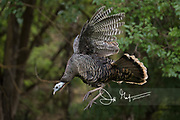 A wild turkey in flight in a forested area.