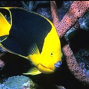 Queen Angelfish inhabit reefs and surrounding areas in Tropical West Atlantic; picture taken Palm Beach, FL.