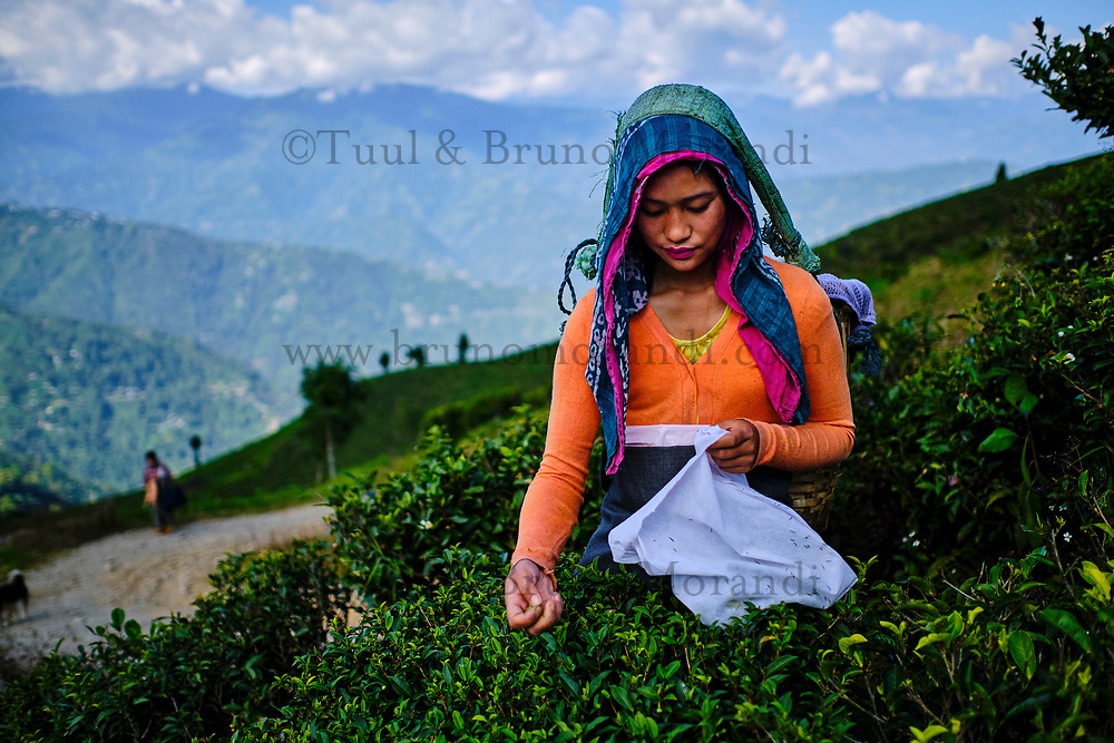 Inde, Bengale Occidental, Darjeeling, Domaine du thé de Happy Valley, cueillette du thé// India, West Bengal, Darjeeling, Happy Valley tea estate, tea picker picking tea leaves