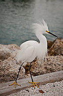 A snowy egret in full display on the jetty at Venice, Florida.