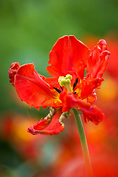 Tulipa 'Rococo' - Parrot Group