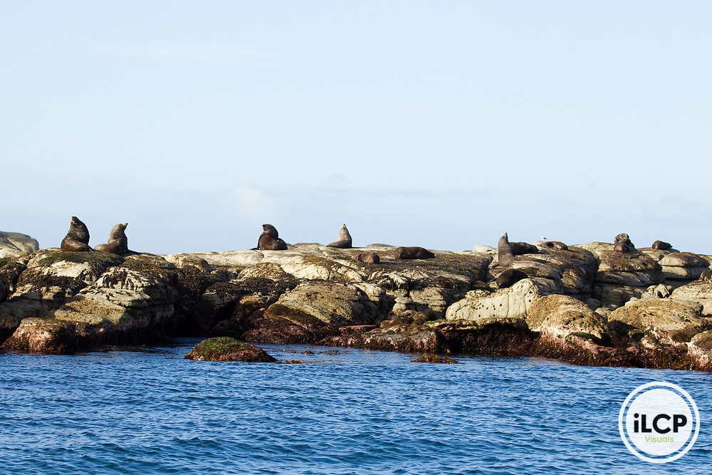New Zealand Fur Seal (Arctocephalus forsteri) bulls sunbathing on coastal rocks, Kaikoura, South Island, New Zealand