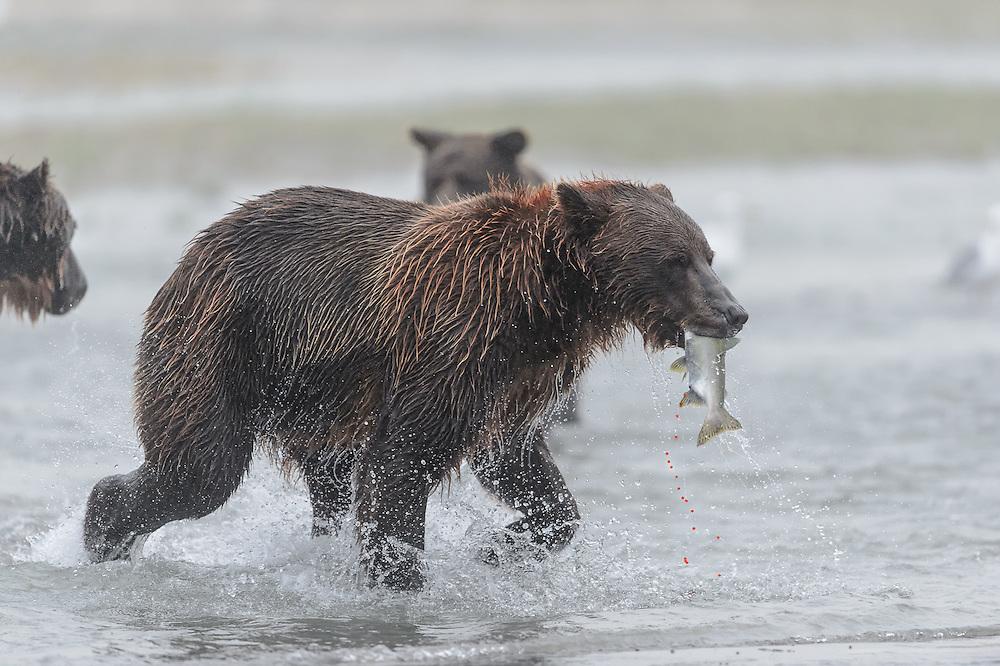 Coastal Brown Bears Katmai Alaska