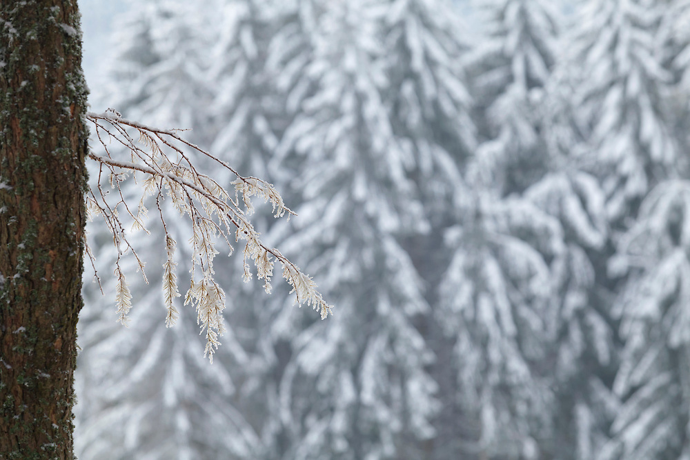 Scots pine tree(Pinus sylvestris) branch with frost  and unidentified pine trees (Pinus) with snow in the back