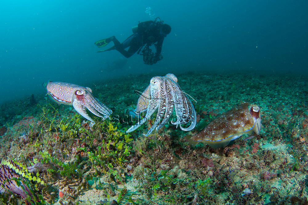 Three Pharoah Cuttlefish, Sepia pharaonis, interacting together close to the seabed, with a diver photographer behind, Taliabu Island, Sula Islands, Indonesia.