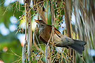 A rufous-backed robin clings to a hanging dried leaf, Puerto Vallarta, Mexico