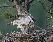 Juvenile red-tailed hawk stands and stretches wings in the early morning, alert and bright-eyed. © 2011 David A. Ponton, [Prints to 8x10, 16x20, 20x24 or 24x36 in. with no cropping]