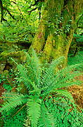 Sword fern and moss covered old growth in the Hoh Rain Forest, Olympic National Park, Washington USA