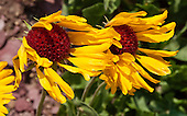 Montana: Glacier NP: flowers, plants