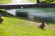 Ducks at Cerritos Iron-Wood Golf Course