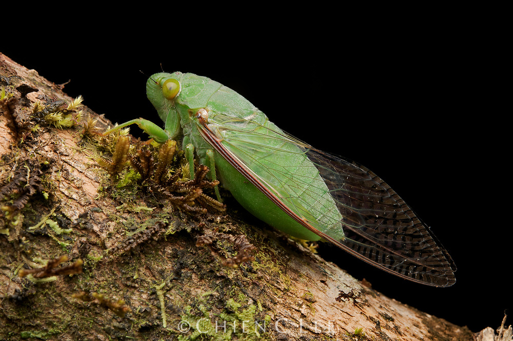 Dundubia vaginata, a common species of cicada from the Malay archipelago.