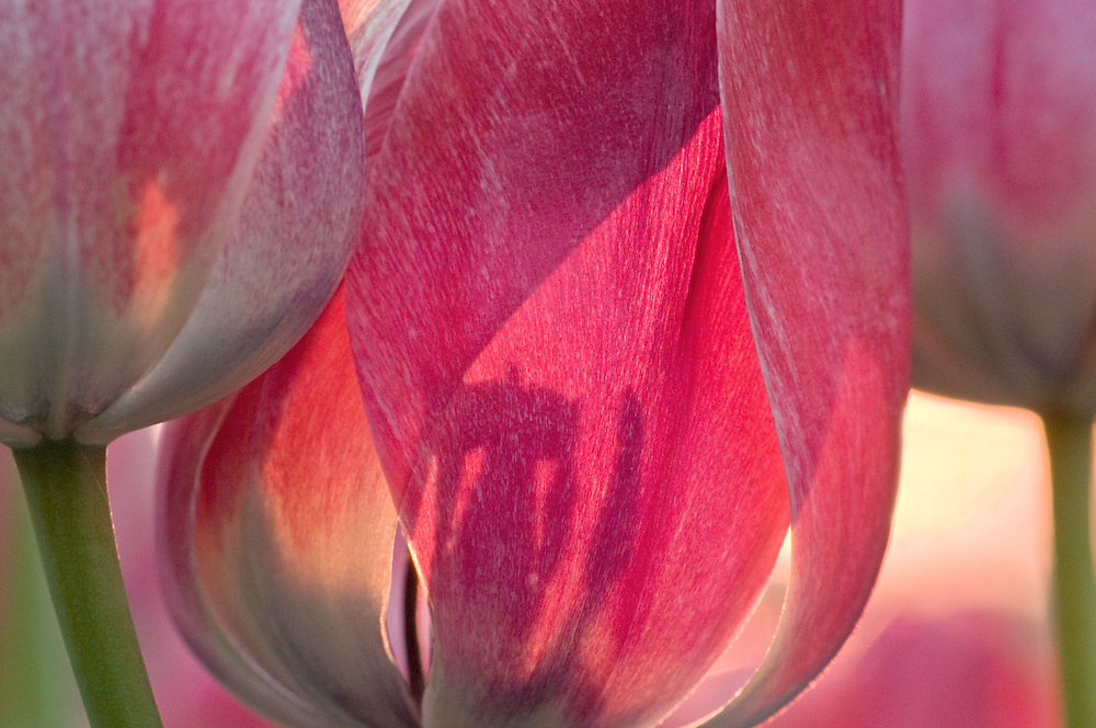 Backlit Tulip