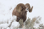 A massive bighorn ram, follows the scent of some nearby ewes.  Bigger than most, this ram ran off all other potential challengers with only a brief display of his thick horns.