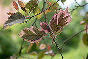 college green, Mapp Athens, Tree Tour, Tricolor Beech