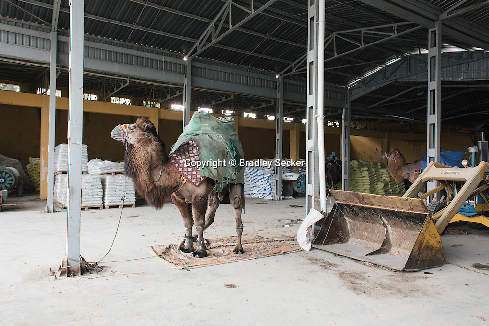 TURKEY, Izmir, Selçuk. Camels are kept in a warehouse used to store farming products after arriving in the town of Selçuk a day before the wrestling event.