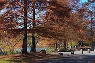 Bald Cypress trees along the northern edge of the Harlem Meer in Central Park, New York City.