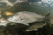 Striped Bass, Underwater