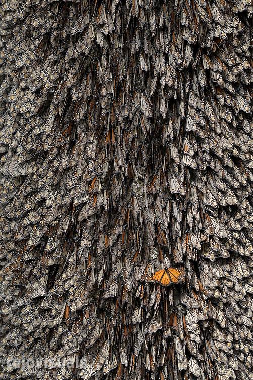 Monarch Butterflies (Danaus plexippus)<br /> Monarch Butterfly Biosphere Reserve<br /> Michoacan, Mexico