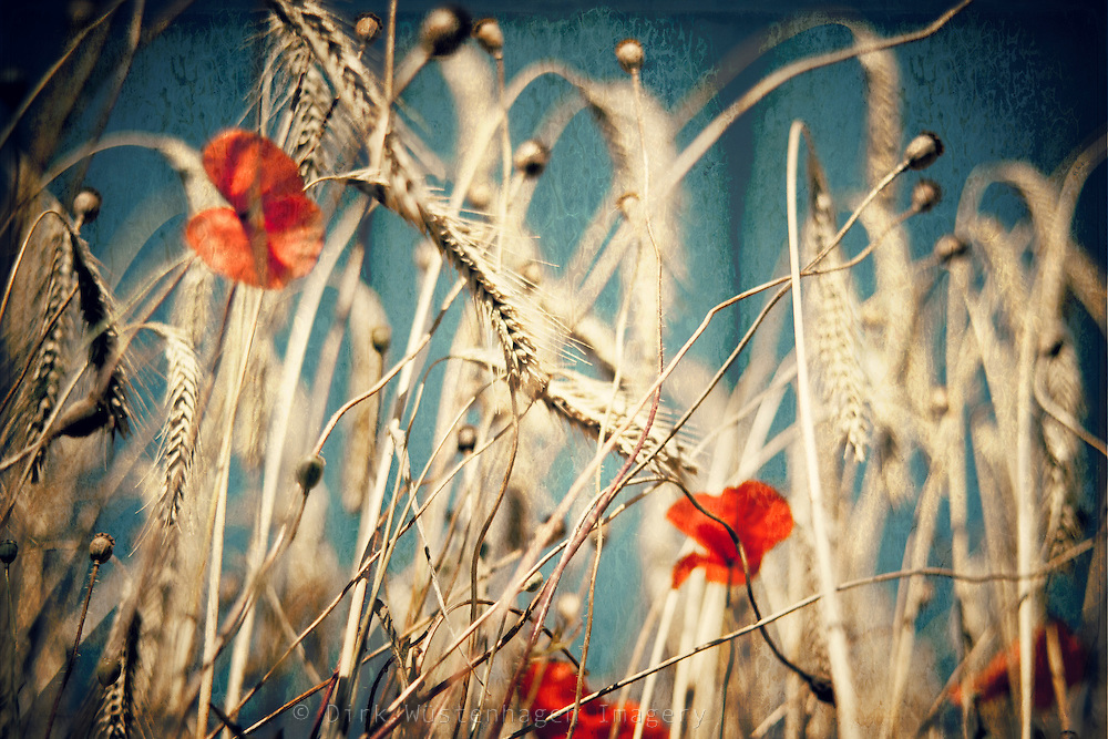 Poppies in a wheatfield<br /> <br /> Prints &amp; more:<br /> http://society6.com/DirkWuestenhagenImagery/chAos-one_Print