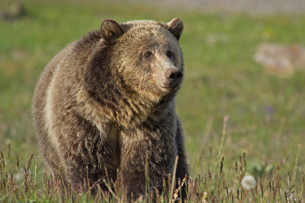 """Grizzly bear coloration ranges from light blonde to dark brown, with females usually being lighter than males. This beautiful female's golden fur is tipped in a lighter color giving her coat a """"grizzled"""" appearance, which is how the grizzly got its name."""