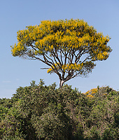Yellow flowers of the Vochysia divergens tree along the Cuiaba River in the Pantanal.